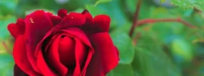 乐小米:你看天使的干枯玫瑰